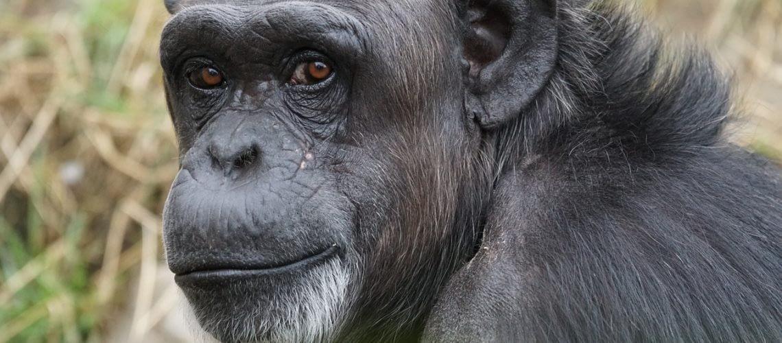 chimpanzee-871296_1280